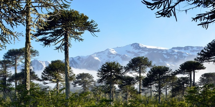 chile-parque-nacional-conguillio-araucarias-turichile